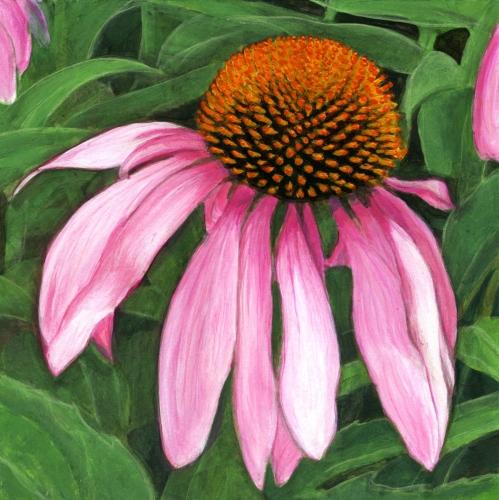 Pink Echinacea - Coneflower