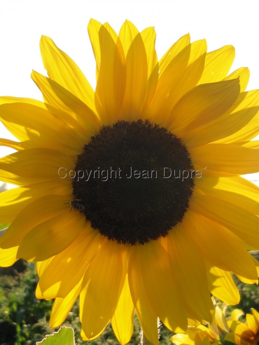sun flower light (large view)