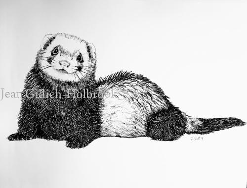 Ferret Study