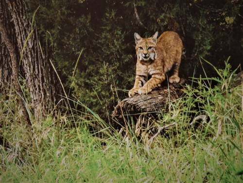 CO Wildcat