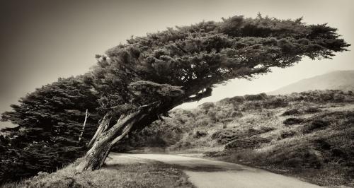 Pt. Reyes Tree