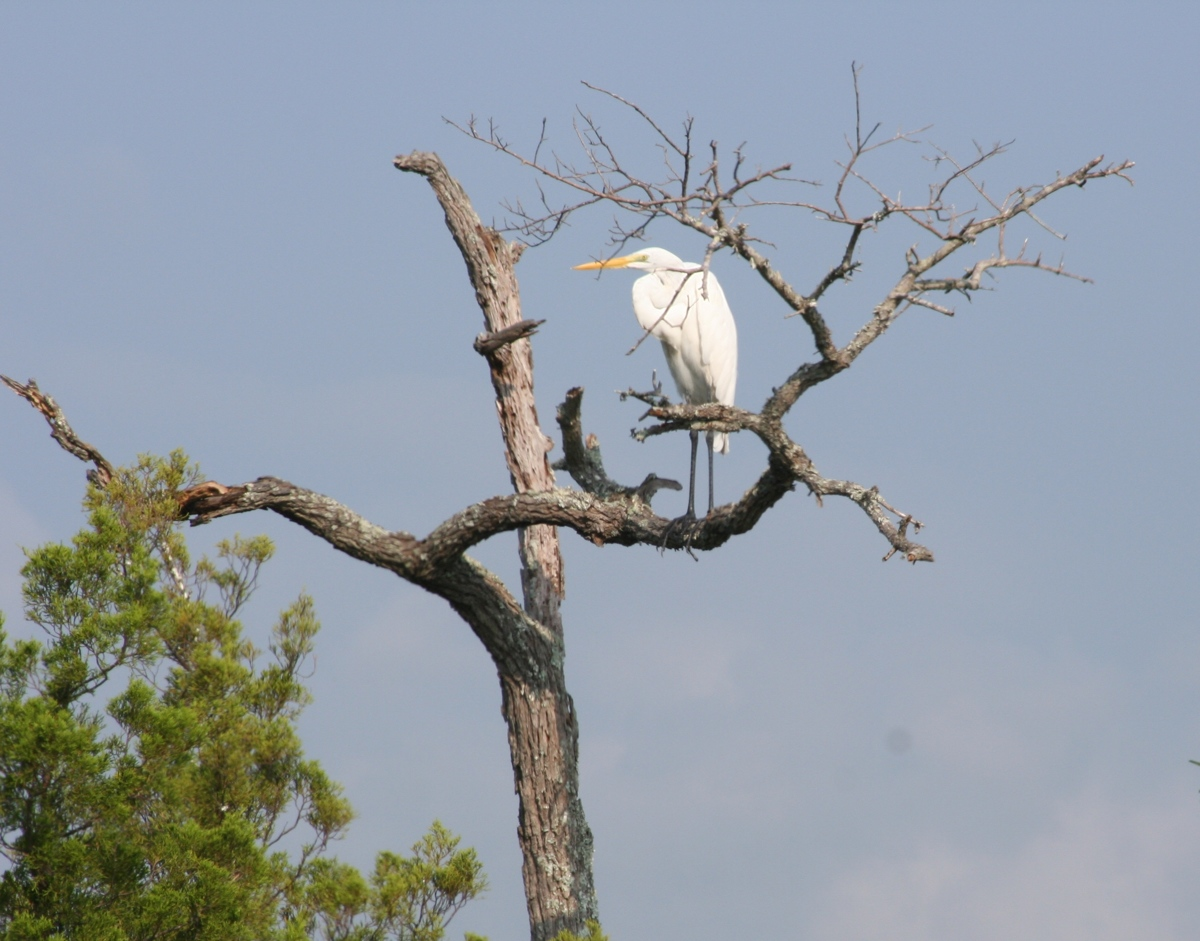 Great Egret (large view)