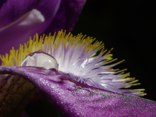 Iris Dew Drop