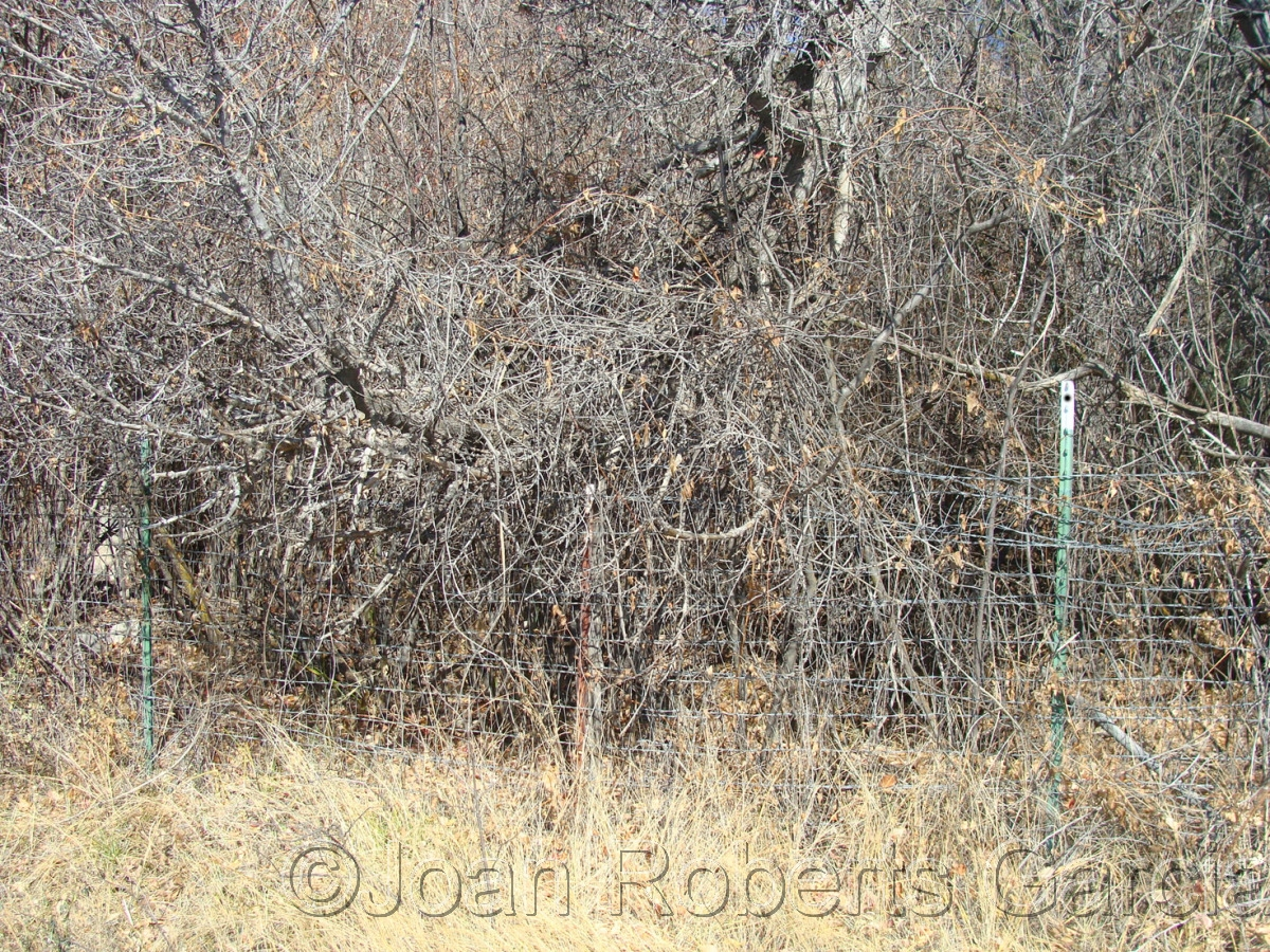 A photograph of brambles, San Ildefonso Pueblo, New Mexico (large view)