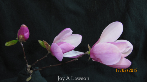 Tennessee Saucer Magnolia