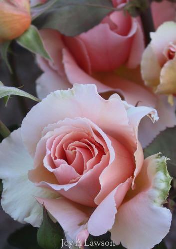 Oregon Rose by JOY A LAWSON
