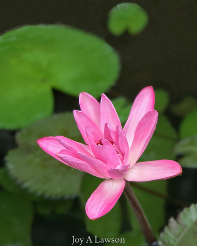 Everglades Pink Water Lily