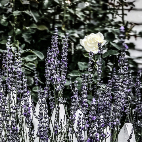 Pickets and Lavender