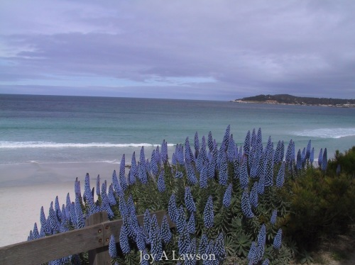 Purple Echium and Blue Ocean