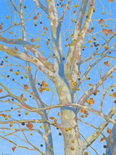 Sycamore in Autumn