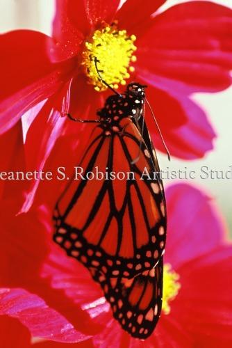 Monarch of color