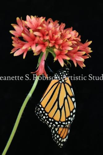 Monarch on galardia  bloom