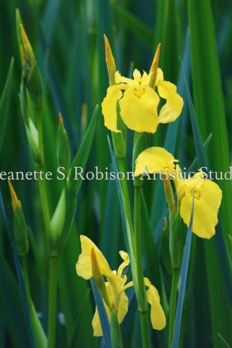 Wild Irises inYellow by Jeanette S. Robison Artistic Studios