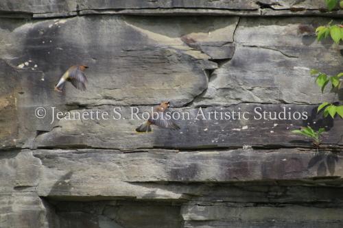 Cedar Waxwings in Stone