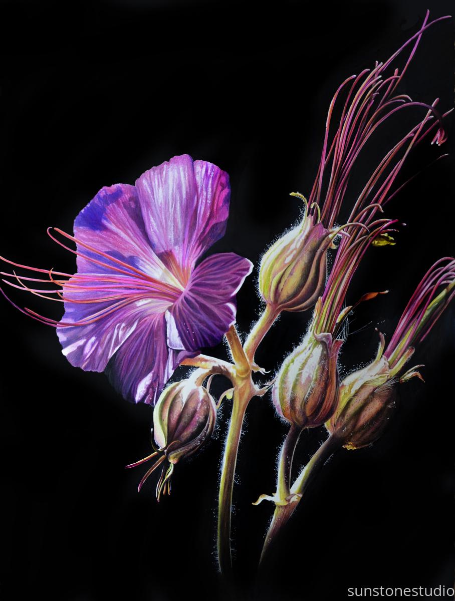 The Stillness of Life:  Sticky Geranium (large view)