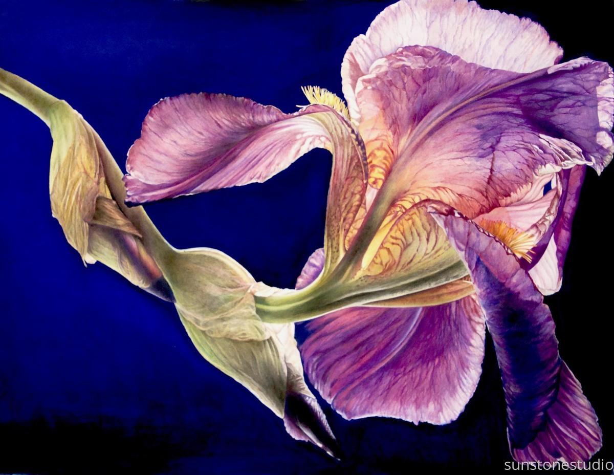 Bearded Alcazar Iris (large view)