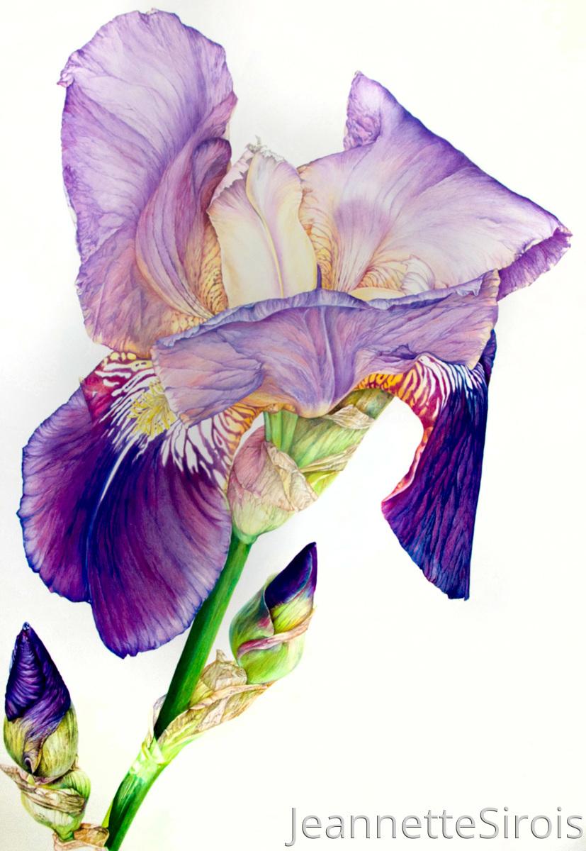 Bearded Alcazar Iris #1 (large view)