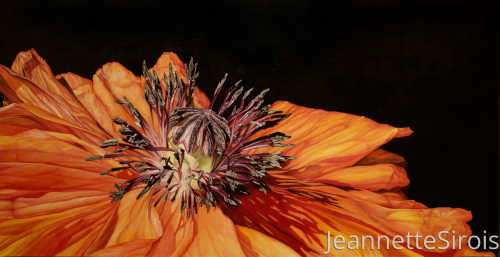 jeannette-sirois-color-pencil-drawing-poppy