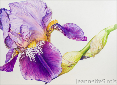 Bearded Alcazar Iris #3