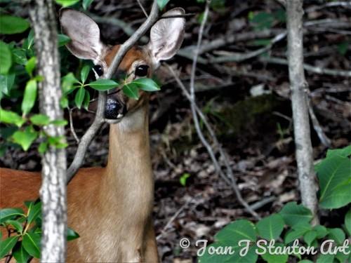 Watchful doe