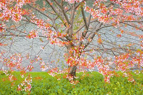 Sakura, Tokyo