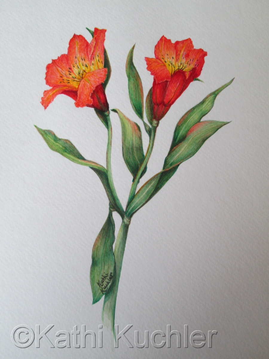 Alstroemeria (large view)