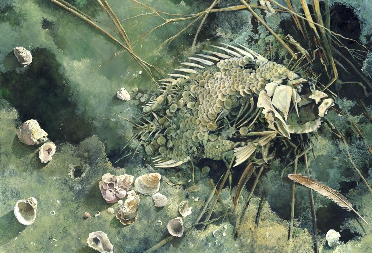 Dead sheepshead fish on a beach (large view)