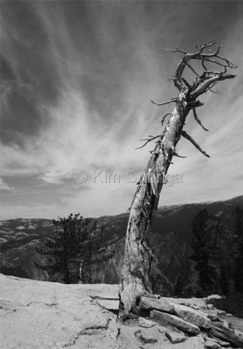YOSEMITE TREE (large view)