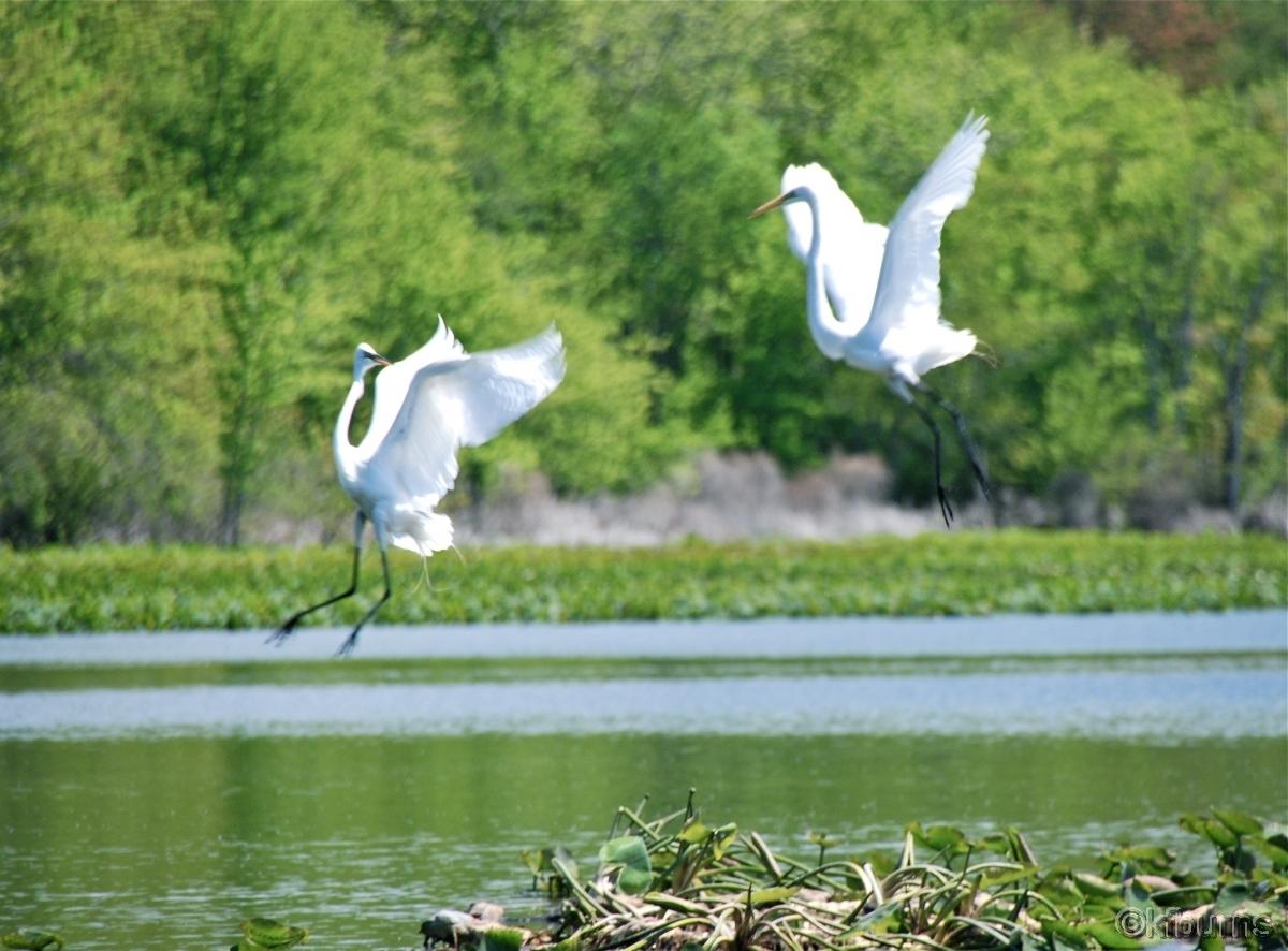 Egrets at play Rockland Lake NY (large view)