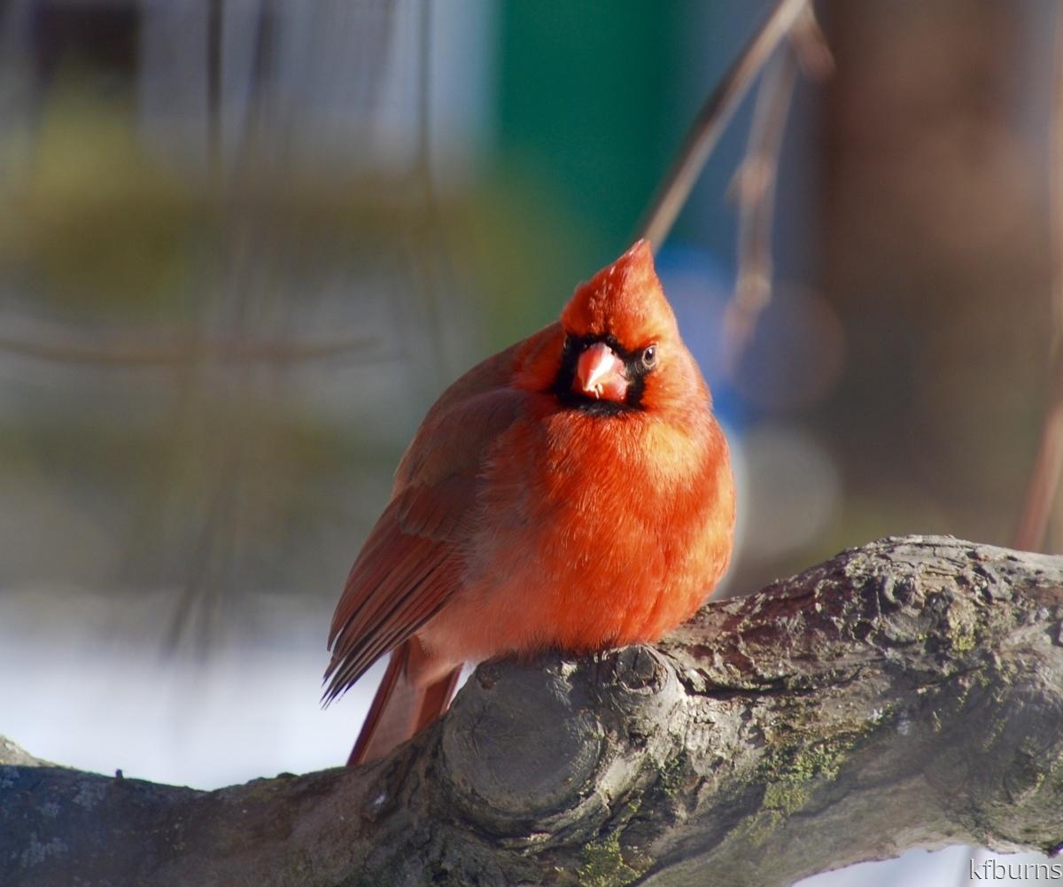 Serious Cardinal (large view)