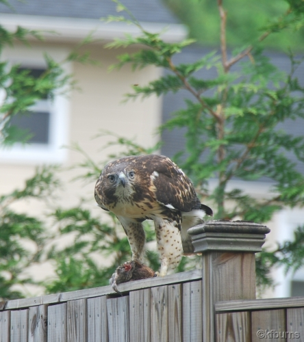 Hungry Red Tail Hawk New City NY