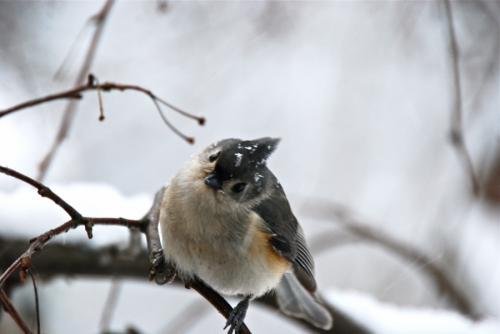 Hello ( Titmouse on a limb)