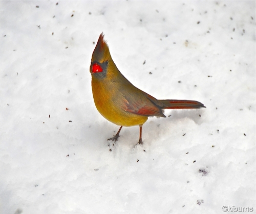 Female Cardinal New City Ny