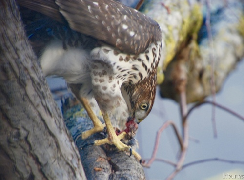 Lunch with a Coopers Hawk