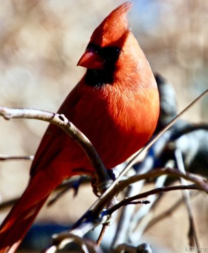 Majestic Cardinal