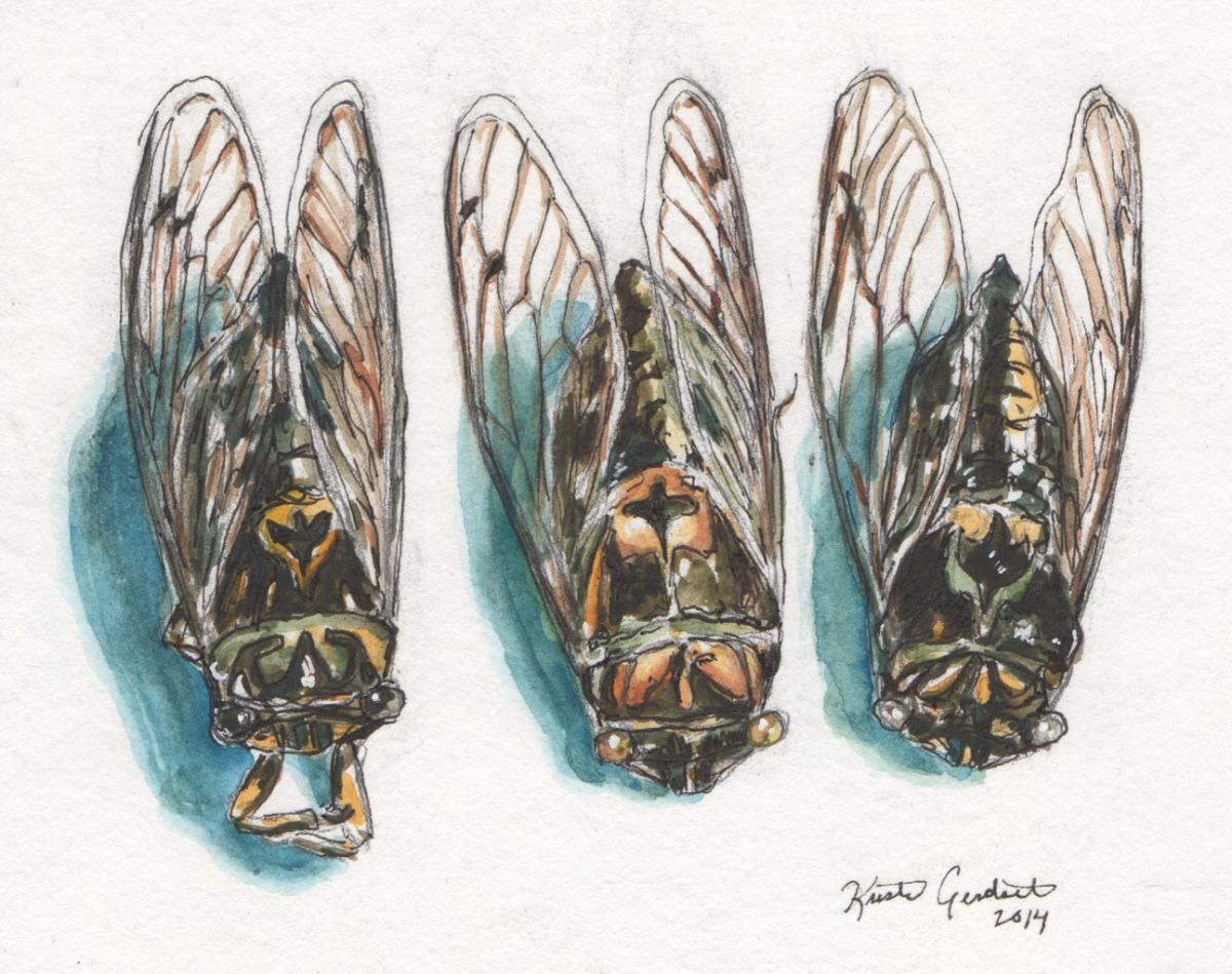 Cicada Amigos Three (large view)
