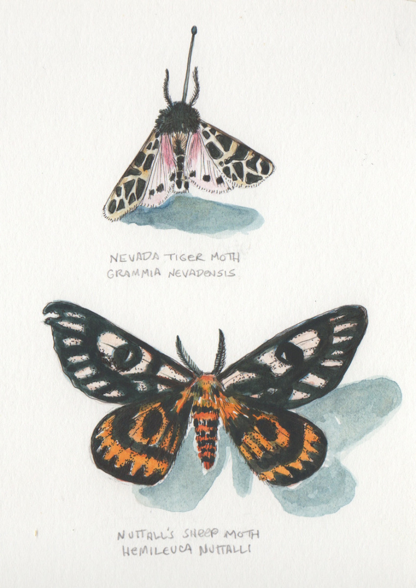 Sheep and Tiger Moth Studies (large view)