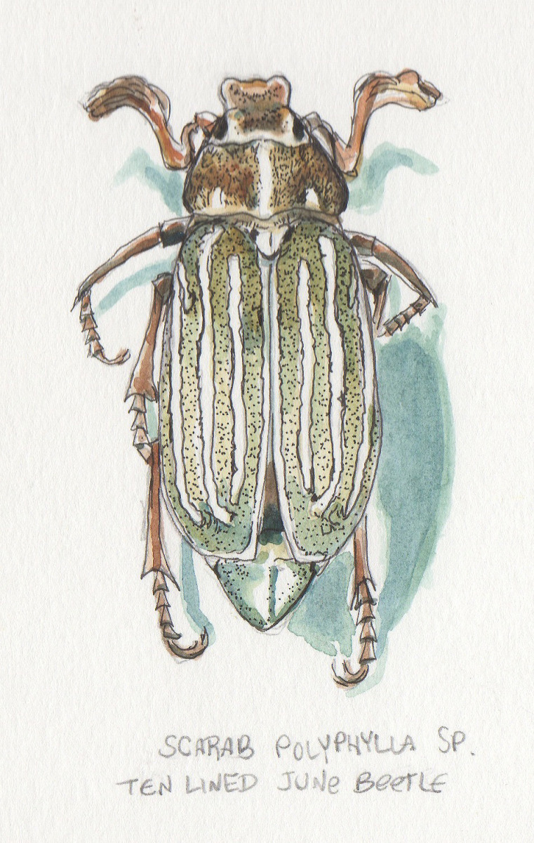 Ten- Lined June Beetle (large view)