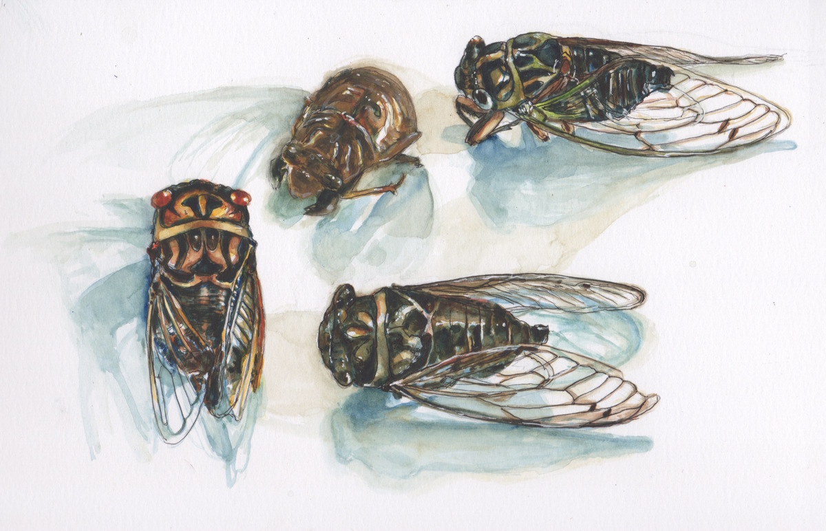 Cicada Four (large view)