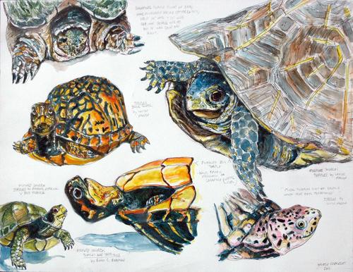 Turtle Studies -Realistic (large view)