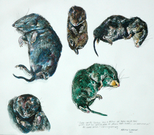 Shrew Study Page (large view)
