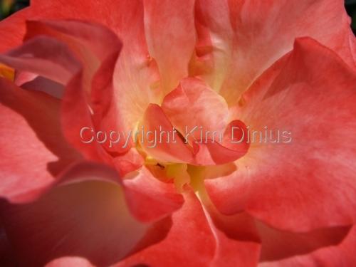 pink flower by Kim Dinius