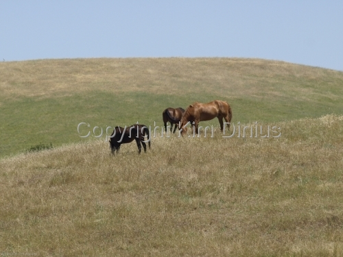 horses on hill by Kim Dinius