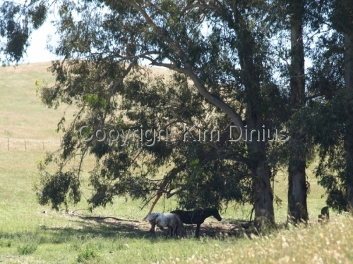 horses by tree