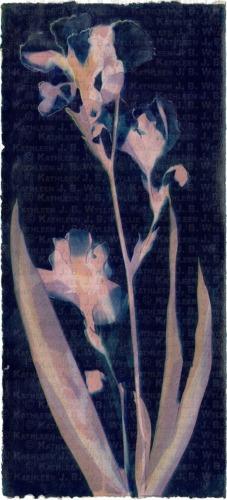 Blue Pink Irises, BG XIV