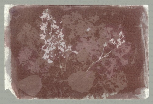 Violet Red Lilacs, BG XXV