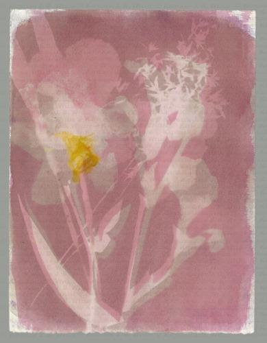 Very Pink Iris, BG XLII