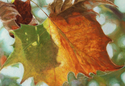 October Sycamore (thumbnail)