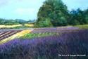 Sequim Lavender (thumbnail)