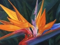 Painting--Pastels-BotanicalA Bird in All Its Finery: Paradise 2
